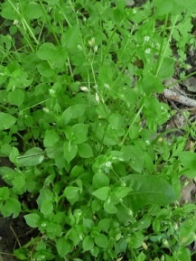 chickweed-picture