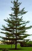 Eastern_White_Pine_-_tree